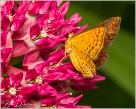 Swamp Metalmark Butterfly, St. Francois County, MO