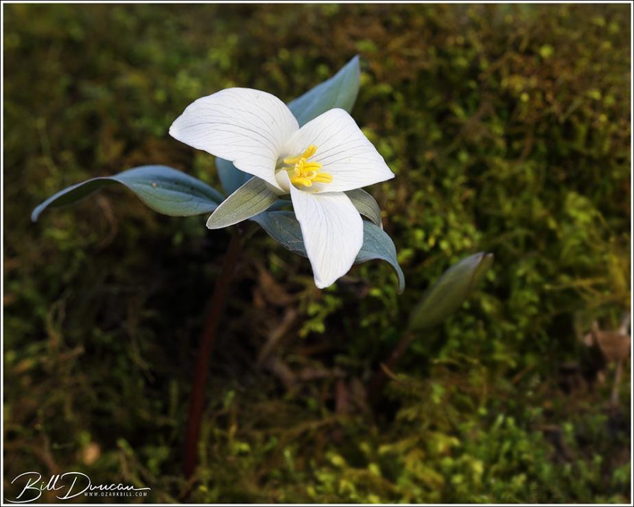 Snow Trillium (Trilliumnivale)