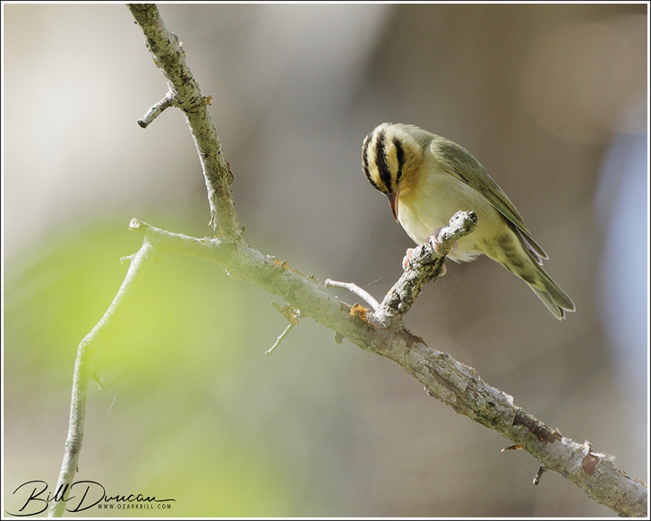 Worm-eating Warbler – April 2021