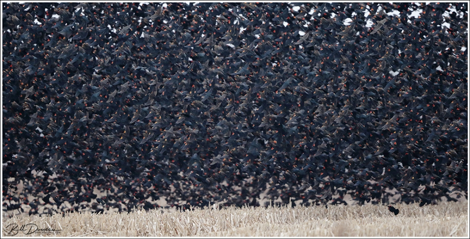 Blackbird Flocks at CBCA