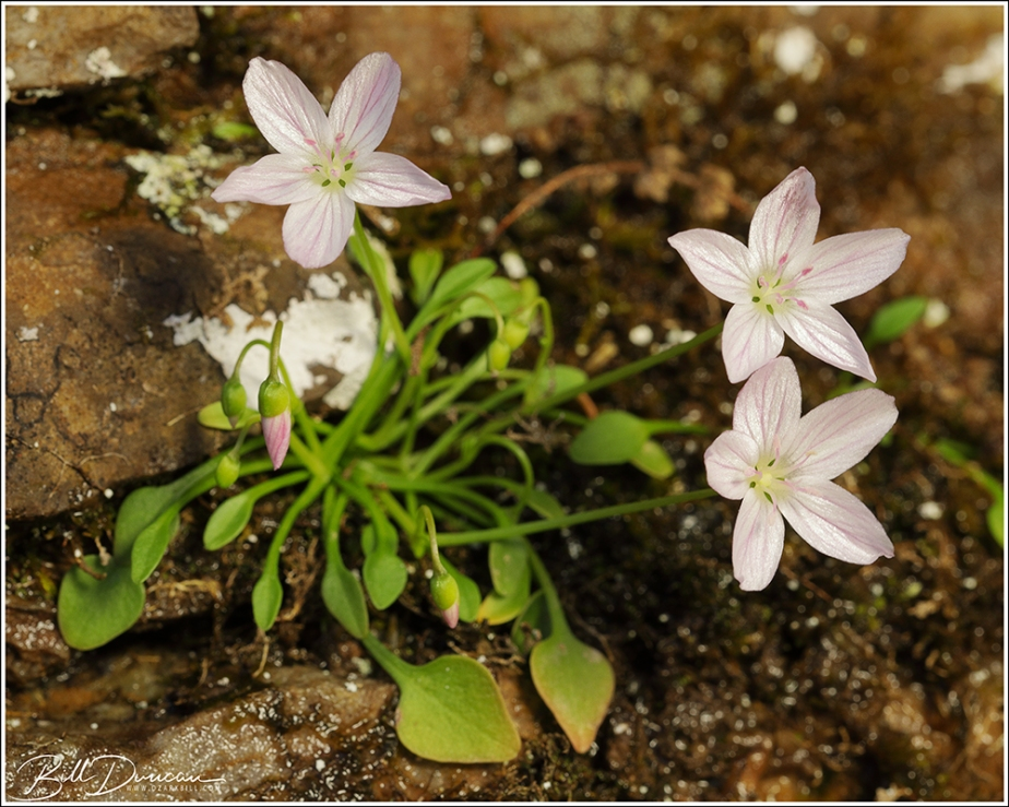 Ozark Spring Beauty (Claytonia arkansana)