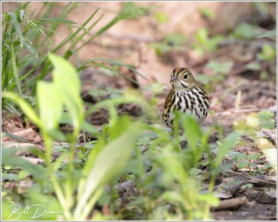 Nesting Birds of Missouri – TheOvenbird