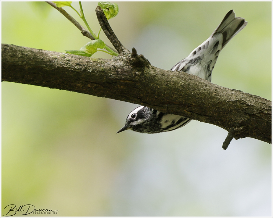 Nesting Birds of Missouri – Black-and-WhiteWarbler