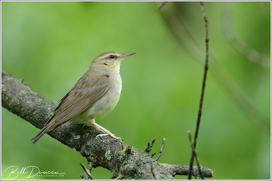 Swainson's Warbler – In St. CharlesCounty!