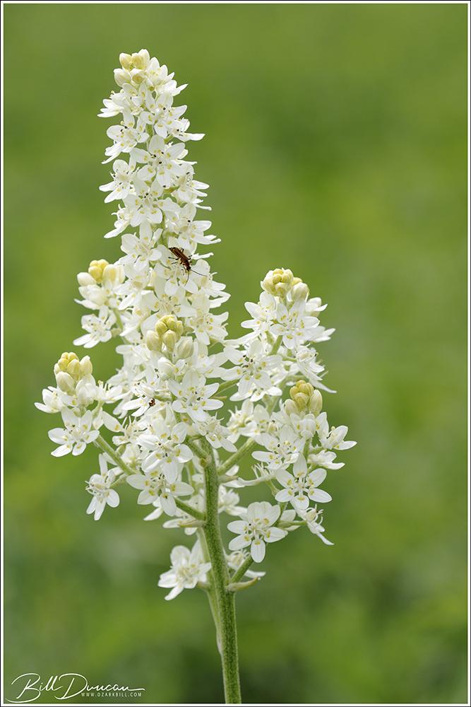 Melanthium virginicum – IllinoisBunchflower