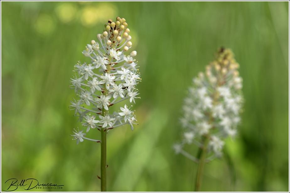 Amianthium muscitoxicum (flypoison)