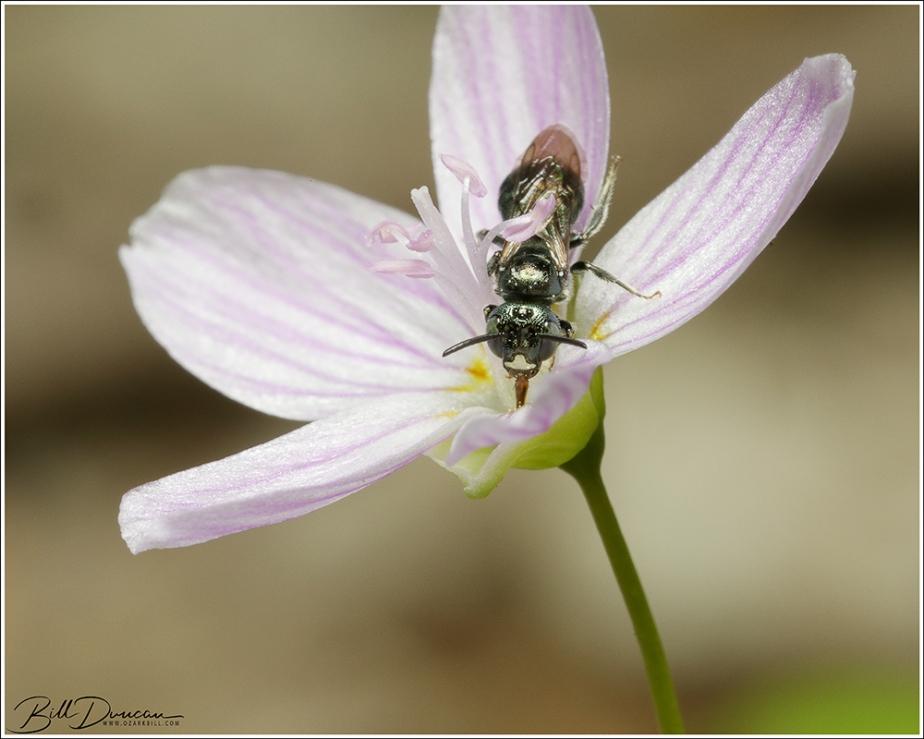 Small Carpenter Bee (Ceratinasp.)