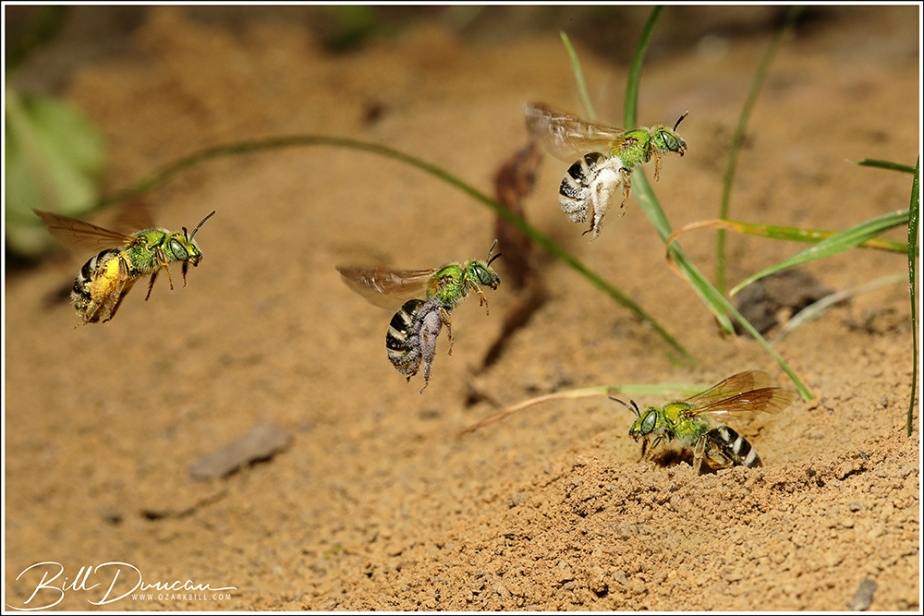 Photographic Observations of a Communal Nesting Sweat Bee (Agapostemonvirescens)