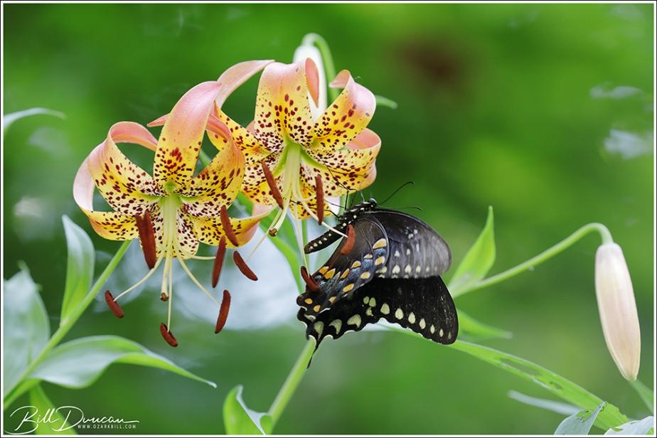 Three Missouri Lilium
